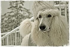 standard poodles, anim, poodl crazi, beauti poodl, babi dog, pet, doggi, winter wonderland, baby dogs