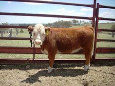 mini hereford cow! LOVE IT