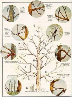 How to prune an apple tree