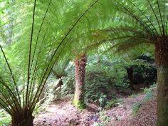 australian tree, tree fern