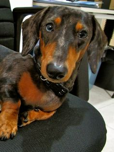 You want me to do what? doxie