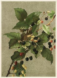 Blackberries by Ellen T. Fisher (1887)