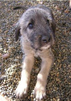 irish wolfhound puppy  If I had a house with acreage I would have one of the beautiful dogs!