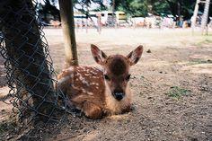 real life Bambi. <3