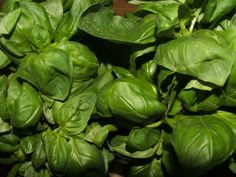 Genovese Basil by pitchfork diaries: The traditional Italian large-leafed variety of sweet basil that we all know and love.  Ideal for all things pesto, but best when the leaves are small.  If the leaves are huge, blanch them quickly to remove some of the (too) strong flavor, making them more suitable for a delicately balanced pesto sauce. http://tinyurl.com/7vxl6z7  image via Wikimedia Commons  #Basil #Herbs #pitchforkdidaries #Wikipedia
