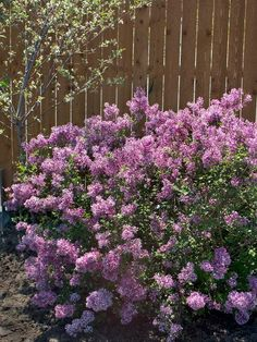 Bloomerang Reblooming Lilac - compact variety, grows just 4 to 5 feet tall. Fragrance in spring, and again from midsummer into fall - heavy crop of lavender-purple flowers that are perfect for cutting.