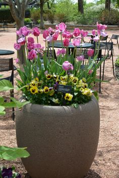 Pink tulips give this container garden height and visual interest.