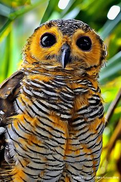 Spotted Wood Owl from Indonesia