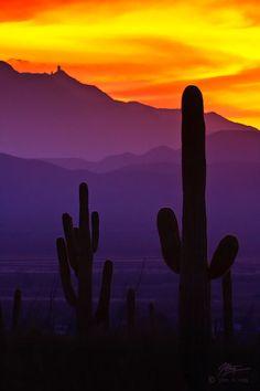 Saguaro Cacti, Saguaro National Park, AZ --Stunning!