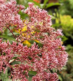Joe-Pye weed's rosy blooms are glorious in the late summer border, and so are the butterflies it's sure to attract: http://www.bhg.com/gardening/flowers/perennials/flowers-for-wet-soil/?socsrc=bhgpin060814joepyeweedpage=4