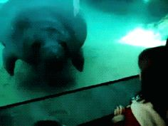 This manatee that has terrible depth perception. | 16 Animals Who Need A Vacation