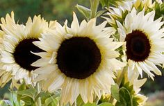 hybrid called Coconut Ice. Rather than the typical orange-yellow petals seen on most sunflowers, this flower's creamy white petals surround large black centers.