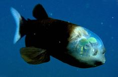 The barreleye (Macropinna microstoma for you ichthyologists) is a deepwater fish that has a see-through, fluid filled head in which it moves its eyeballs.