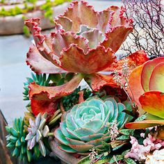 26 Spectacular Succulent Combos  beautiful succulents, great in the sacramento valley and this heat!