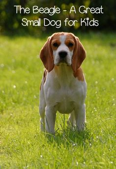 The Beagle is a grea
