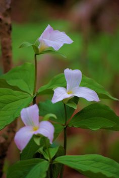 Trillium in the NC mountains near the Blue Ridge Parkway