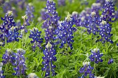 Texas Bluebonnet: Water seeds only on the day of planting, and water transplants sparingly, repeating only when soil is dry an inch down. Though the Texas native (shown) is commonly deep violet, other cultivars include some intriguing non-blue colors, like cream 'Noble Maiden' and maroon-and-white 'Alamo Fire.'   Photo: Saxon Holt/Photo Botanic