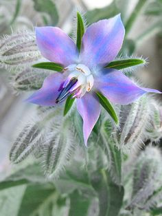 Borage (Borago officinalis) also known as Starflower - one of the edible plants in the garden - see which others ones are too.