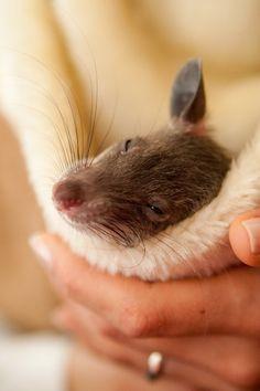 Rattie <3
