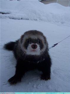 Fuzzy ferret from Finland