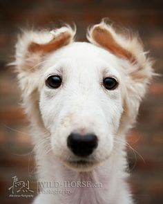 Borzoi Puppies can have their ears going every which way!!!!!