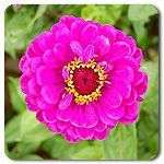 Organic Giant Purple Zinnia