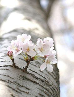 """The most precious gift we can offer anyone is our attention. When mindfulness embraces those we love, they will bloom like flowers.""  ~ Thich Nhat Hanh Cherries Blossoms, Trees Trunks, Spring Flowers, Nature, Gardens, Blossoms Trees, Flowers, Spring Blossoms, Little Flowers"