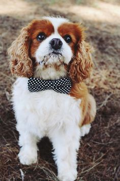 Bow tie dog cute animals dogs outdoors nature dog polka dots fluffy bow tie