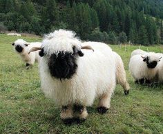 Valais Blacknose sheep: UWGB alternative mascot?