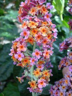 Buddleia davidii 'Bicolor' - Butterfly Bush
