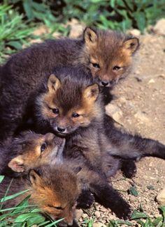 fox pups :)