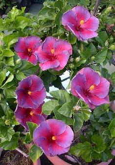 Champion 'Multi Bloom Nightfire' Hibiscus