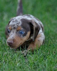 Baby Dapple Doxie!!! <3