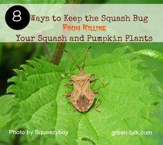 Squash bug control