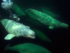 Toxoplasmosis – an infection linked to cat faeces – has been found in beluga whales for the first time and researchers blame thawing Arctic ice