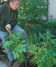 10 Tips on Dividing Perennial Plants