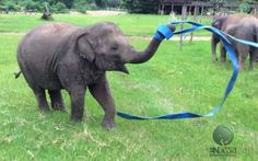 Elephant Playing with a Ribbon Is the Cutest Thing You'll See All Day