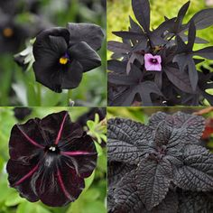 Almost-black plants and foliage, clockwise from top left: Black Magic Viola, Sweet Caroline Purple Sweet Potato Vine, Colorblaze Dark Star Coleus and Pinstripe Petunia.