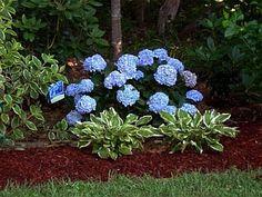Hydrangea macrophylla 'Bailmer' ENDLESS SUMMER® - and hosta