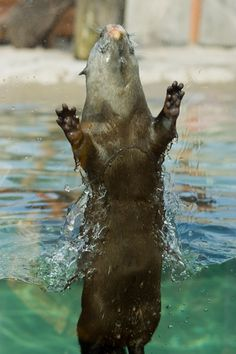 Otter Bursts from the Water - May 6, 2012