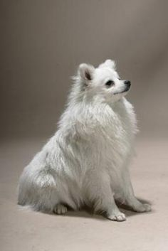 Volpino Italiano dogs, italiano ciao, volpino italiano, pet, volpinoitaliano, cousin, pomeranian, dog breeds, nice anim