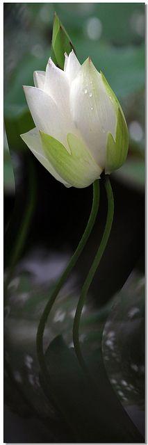 Lotus | Flickr