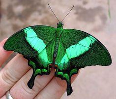 Emerald moth.