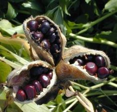 propag peoni, plant, peoni seed, seed pods, pictures of seeds