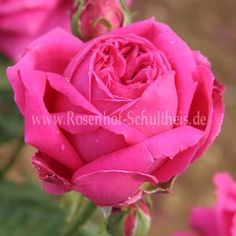 roses on pinterest hybrid tea roses david austin. Black Bedroom Furniture Sets. Home Design Ideas