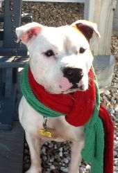 PLEASE SOMEONE SPONSOR LOGAN!!  HE IS A GREAT DOG WHO HAS BEEN IN BOARDING FOR A LONG TIME!!    LOGAN is an adoptable Pit Bull Terrier Dog in Dennis, MA. LOGAN FOR ADOPTION!! 2 year old sweet male pit bull available! Neutered, up to date on vaccinations, microchipped. He weighs ~75 lbs. Logan is...