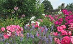Cottage garden filled with Salvia 'May Night', Volcano phlox 'Ruby' and Flower Carpet 'Pink Supreme'