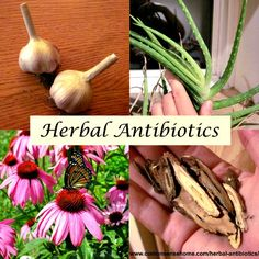 The Facts About Herbal Antibiotics