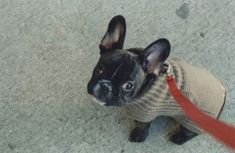 little puppies, french bulldogs, boston, pet, sweater weather, ears, funny faces, black, little dogs