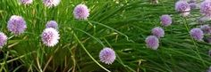 Chives grow well here.  I started my chives from seed 5 years ago.  I have moved them at least 10 times and they always come back.